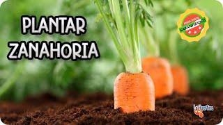 Como Sembrar Zanahorias || Huerto Organico || La Huertina De Toni