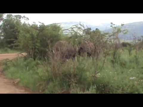 PILANESBERG, Rhino attack, SOUTH AFRICA