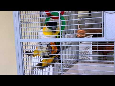 Masterbating Parrot video