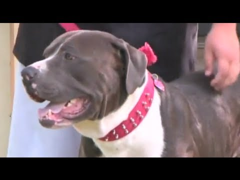 Bullmastiff mix saves woman from American Pit Bull Terrier attack
