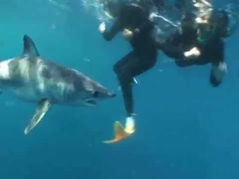 Mako Shark Encounter