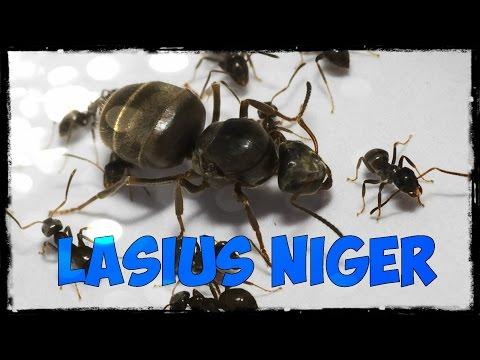 МУРАВЬИНАЯ ФЕРМА - LASIUS NIGER первые муравьи