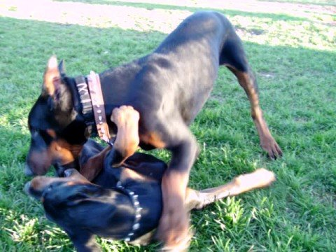 how to make doberman gain muscle