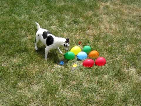 DOG vs. WATER BALLOONS video