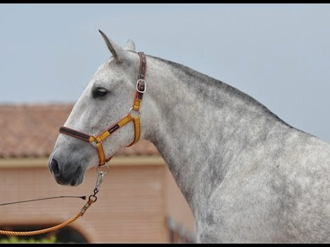 JACARA SU - SUPERB SPANISH MARE, GRAND DAUGHTER OF ALBERO II