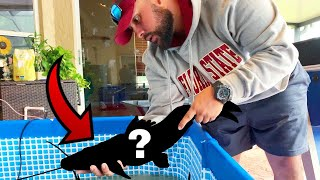Picking Up AMAZONIAN RIVER MONSTER FISH For Pool Pond AQUARIUMS!