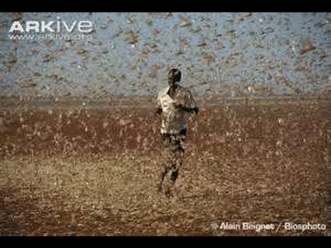 Apocalyptic! LOCUST PLAGUE 30,000,000 strike EGYPT ... Mar. 5 - 29, 2013 UPDATES