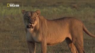 Животный мир. Суровая Африка. Пятнистая гиена. Драма в рядах. Воюющие кланы.