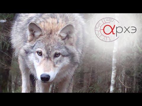 Ясон Бадридзе: Формирование мышления волка