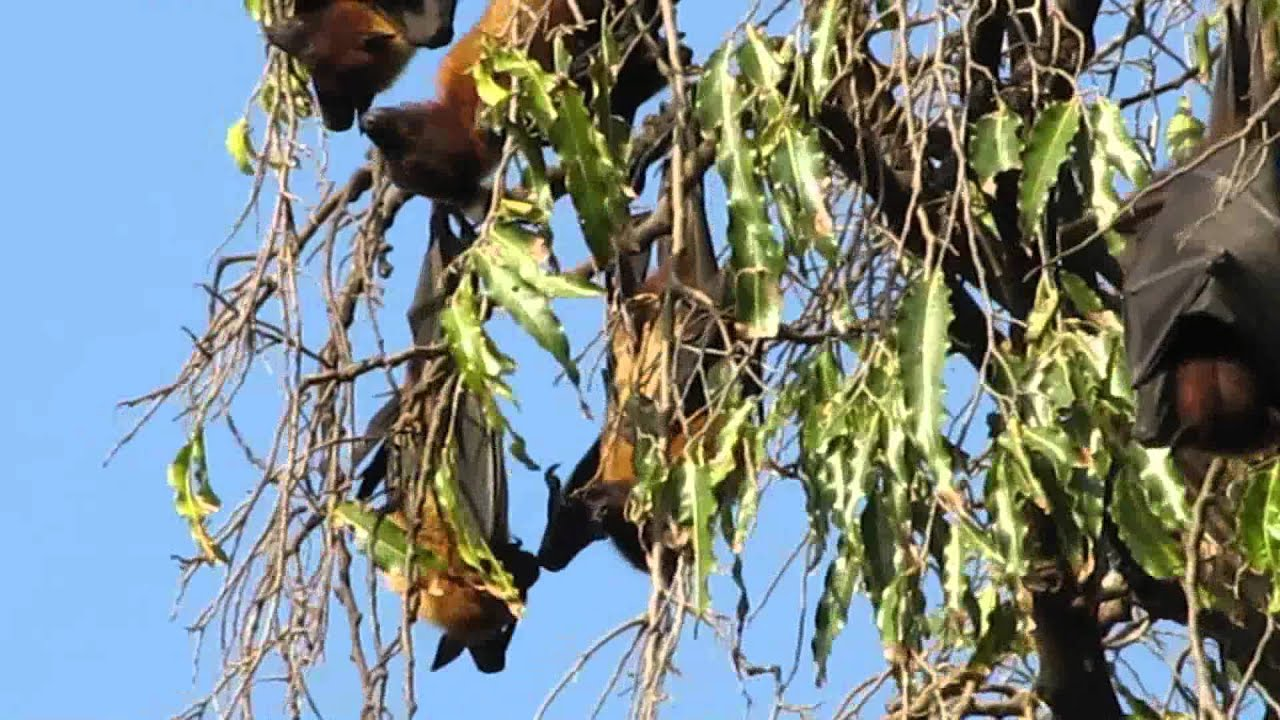 giant fruit bat mango fruit salad