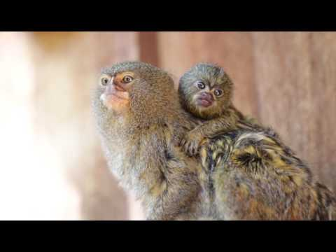 Pygmy Marmoset Family Welcomes New Baby