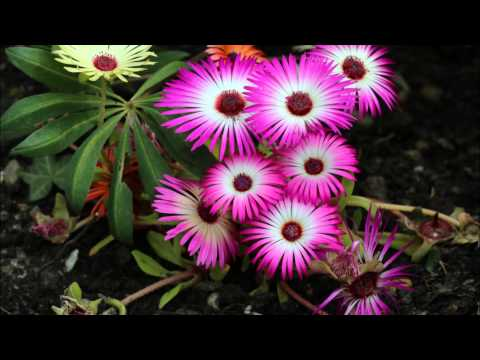 Livingstone Daisies - Wednesday