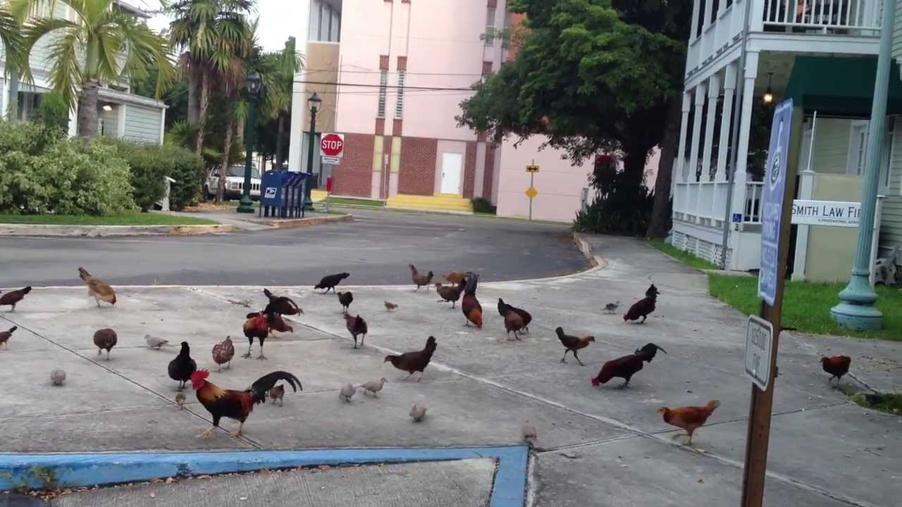 key west Chickens on the street - YouTube