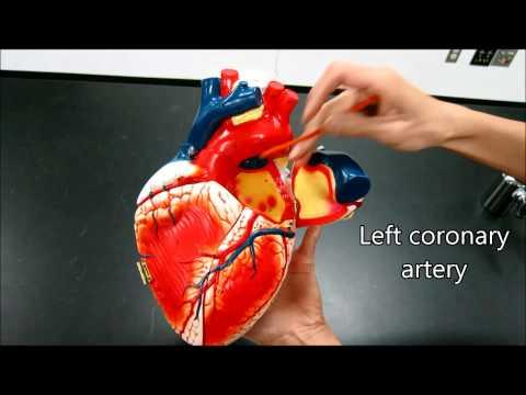 Heart Anatomy Physiology Nursing Valves Blood Flow Structure Arteries EMT Tutorial Atrium Ventricles