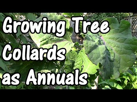 Growing Tree Collards as Annuals in Cool Climates (How to Propagate Tree Collards)