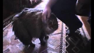 Gato que intenta hablar diciendo: NO NO NO NO