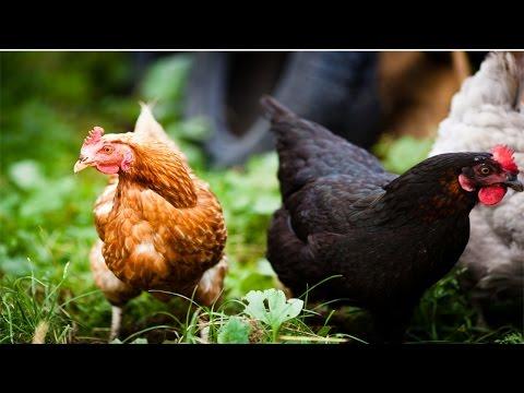 Clique e veja o vídeo Como Tornar seu Sítio Lucrativo - Avicultura