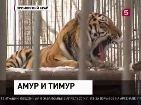 Тигр не стал есть козла и стал его другом. НОВОСТИ МИРА И РОССИИ