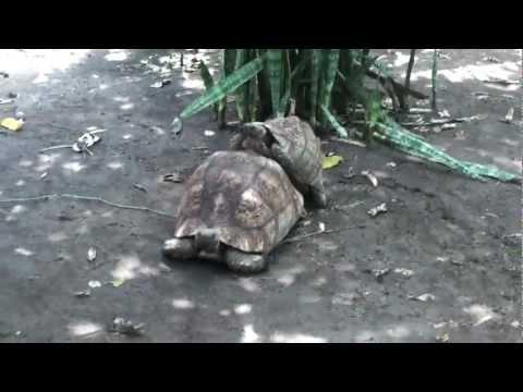Tortoise Sex at Meserani Snake Park, Duka Bovi thumbnail