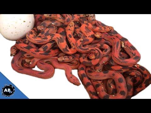 10 Keys To Being A Successful Reptile Breeder : SnakeBytesTV - Ep. 396 : AnimalBytesTV