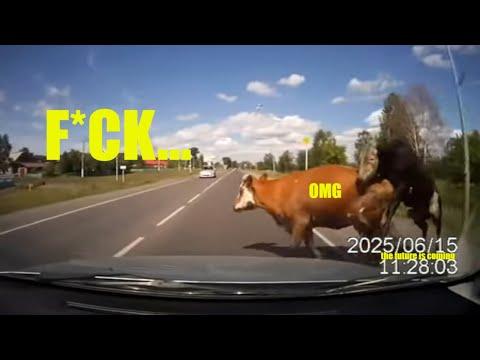 Коровам прервали всю романтику... на свою голову