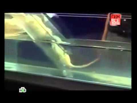 Эксперимент с крысами.240.mp4
