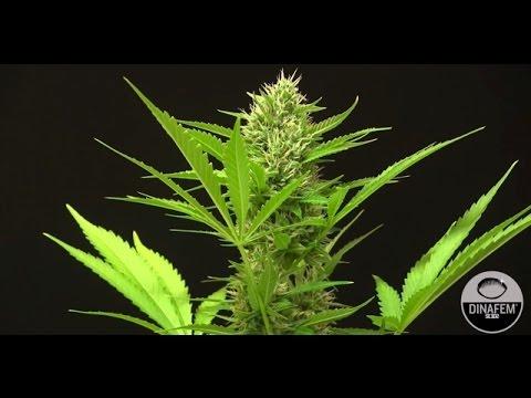 White Widow XXL autoflowering cannabis strain by Dinafem Seeds
