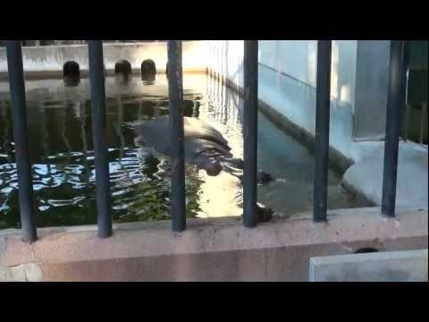 京都市動物園のカバさん帰宅映像[HD]