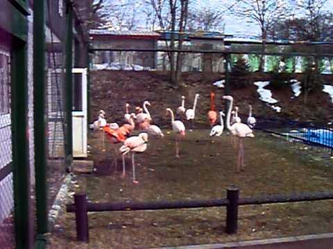 2011.3.25 フラミンゴ おびひろ動物園