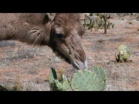 Camels eating cactus