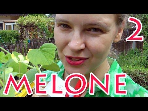 Wassermelonen-Challenge 2 - Anbau Im Hügelbeet