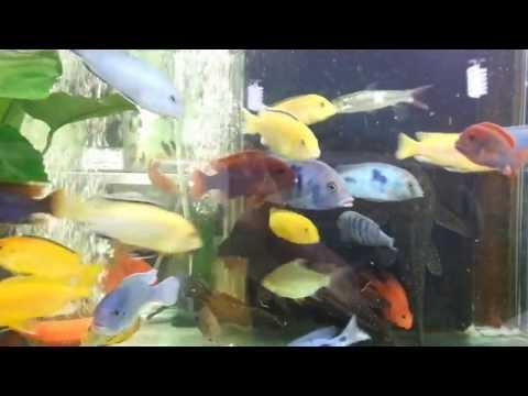Ciklet Balığı Altın Akvaryum'da