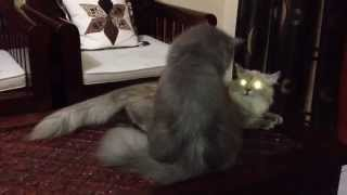 Mating cat - for the first time part 2