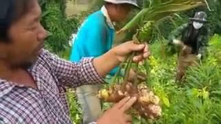 rho qhiav muag rau thaib