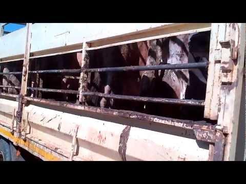 Cow's Tragic Final Journey