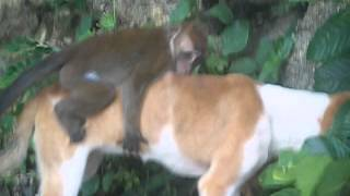 Baby Monkey riding on a dog