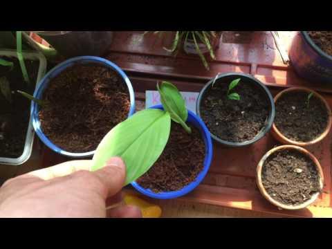 Exotische Früchte update| Avokado pflanzen, Ingwer, Mango, Kurkuma, Kaffee usw