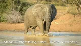 African Elephant taking a bath