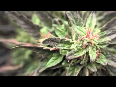 Jorge Cervantes: Medical Marijuana Outdoor Gardens Tour - 10lb.+ MEGA Plants!!