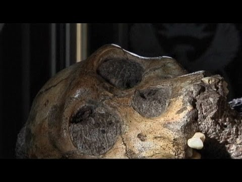 euronews science - The skeleton from South Africa which may be the missing link