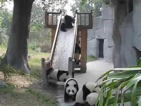 Pandas on a slide