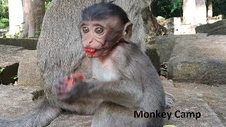 Baby monkey life in Angkor, Real life of baby monkey, Monkey Camp part 372
