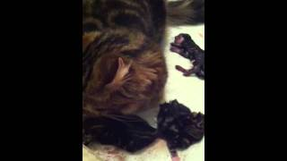 BabyGirl's Newborn Kittens: First few hours xxx