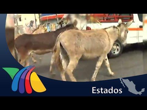 Burros provocan caos en avenidas de Guadalajara   Noticias de Jalisco
