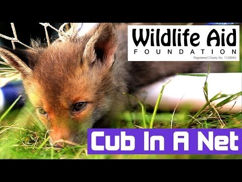 These Cute Baby Foxes were Saved from being Strangled by a Goal Net