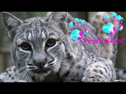 Farewell Divinity Bobcat