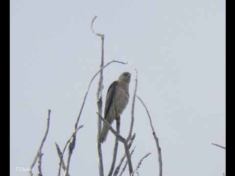 Header of Accipiter brevipes