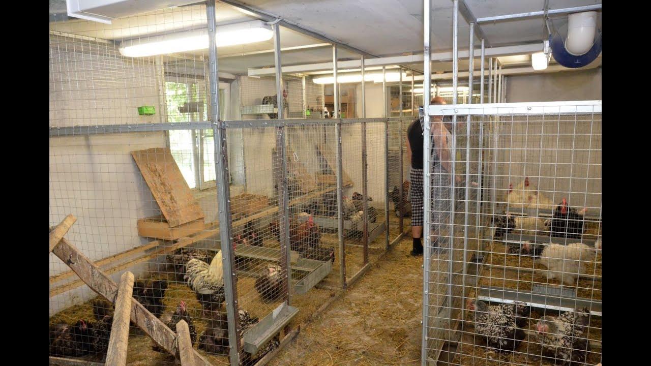 Как выращивать кур-несушек 34