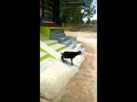 階段を滑って遊ぶ事に快感を覚えた変な可愛いヤギ。