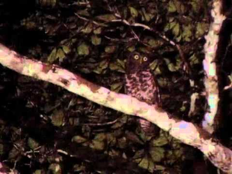 Header of Akun Eagle-Owl